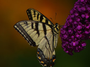 Yellow Tiger Swallowtail.
