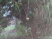 Spiky Orb spider