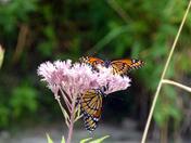 Not Monarchs