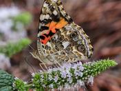 Madam Butterfly...