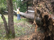 Irma knocked down huge red oak and misses log cabin by inches