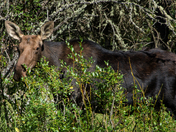 Moose at Cypress Hills Saskatchewan
