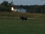 moose in churubusco,ny