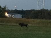 moose in churubusco,ny