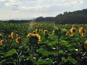 Chambersburg Sunflowers
