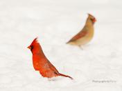 Mrs & Mr Northern cardinal