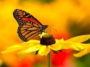 Profile of a Monarch