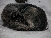 Timber Wolf Curled Up In The Snow