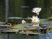 Life around the lily pond