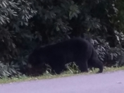 Bears everywhere......