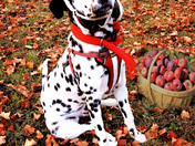 Pilot puppy Domino is ready to fly into Fall!