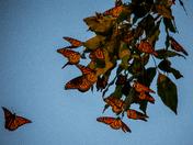 Monarch Butterfly Hotel