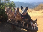 Mossie, Merlot, Mika and Malia at the top of Garland ranch