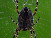 Underside of an Orb Spider