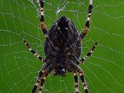 Underside of an Orb Spider
