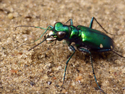 The Tiger Beetle