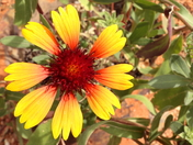 The Last Blanket Flower,