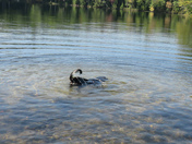 Our dog Reggie going for an under water swim at Little Pond. A beautiful day!