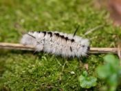 Venomous caterpillar ?