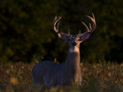 White-tailed Buck In a Golden Glow