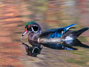 Wood Duck Reflected