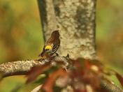 yellow rumped  warbler  imm