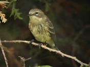 field sparrow   juv