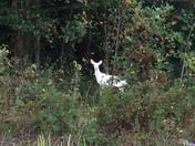 Seneca White Deer