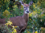 Deer In The Brush
