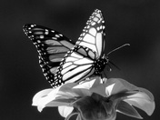 A Monarch