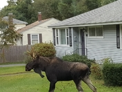 Moose in Holden