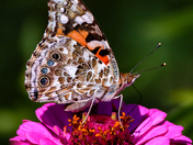 Lots Of Painted Ladies This Year