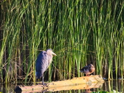 RG_410 | Heron & Mallard