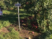 Apple picking at Mack's Apples in Londonderry NH