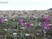 Woolly Lousewort on the Canadian arctic tundra