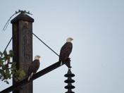 Bald Eagles on the Susquehanna River
