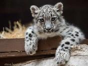 The Snow Leopard Cub