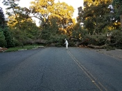 Fallen tree Stockton Ca