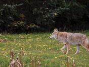 Coyote is walking
