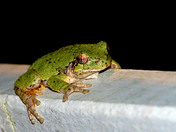 Grey Tree Frog at Night