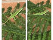Chameleon in my Norfolk Island Pine