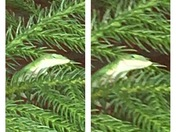 Chameleon in my Norfolk Island Pine