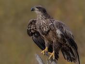 Bald Eagle Juvi