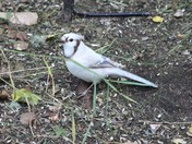 Rare Leucisitic (White) Bluejay