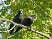 Juvenile Crows