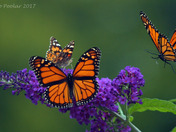 Monaarch Butterflies