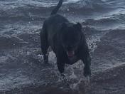 Samson enjoying a fall swim in Lake Hartwell