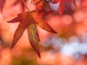 Red Maple Leaf (5288)