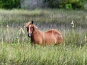 Horses of Shackelford Banks / Cape Lookout National Seashore
