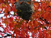 A nest in a tree BUT it's not a bird's nest